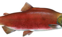 Picture of a Friendly Salmon