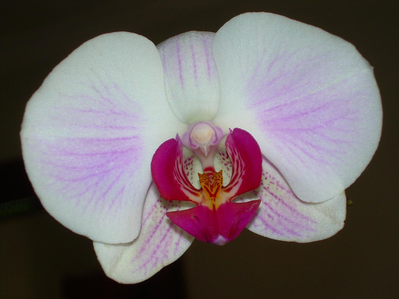The orchid awarded to the Woman of the Year