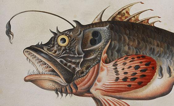 Anglerfish, Public Domain, Maria Sibylla Merian