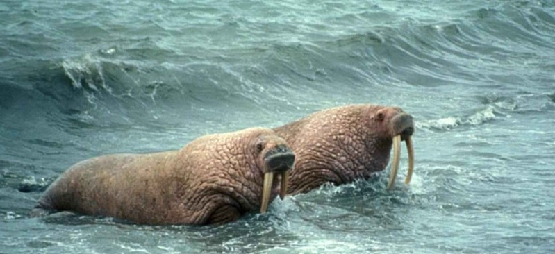 Pair_of_walrus_animals_male_and_female_odobenus_rosmarus