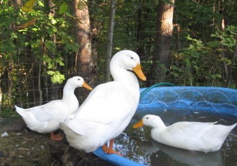 ducks celebrating the Boston Tea Party